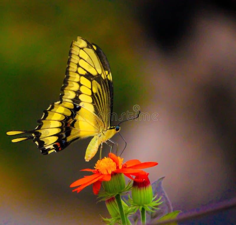 在一朵红色花的一只黄色蝴蝶 库存图片