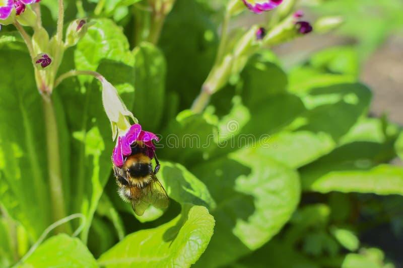 在一朵红色花的土蜂在绿色叶子中 在花花蜜 库存照片