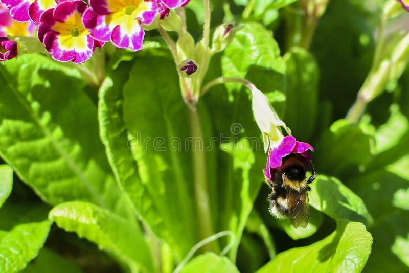 在一朵红色花的土蜂在绿色叶子中 在花花蜜 免版税库存照片