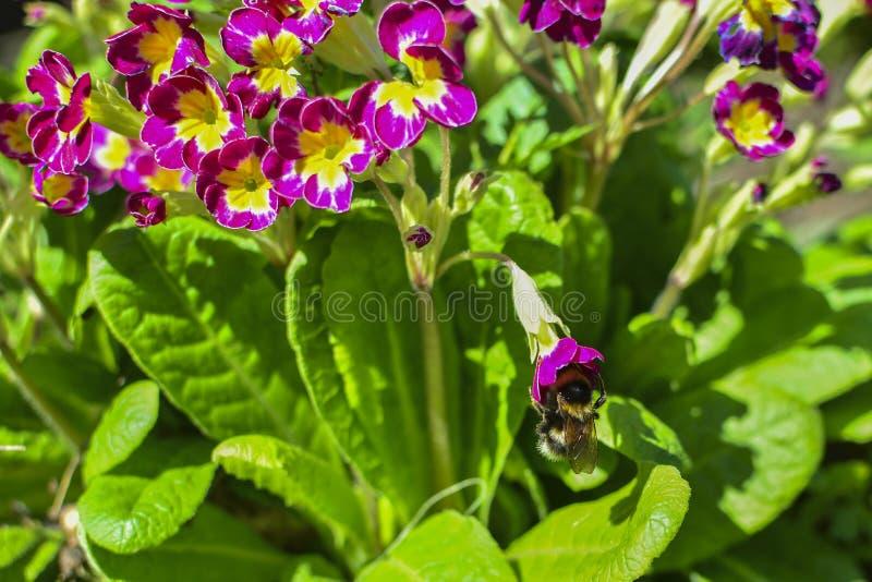 在一朵红色花的土蜂在花和绿色叶子中 在花花蜜 收集花蜜 图库摄影