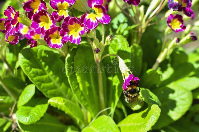 在一朵红色花的土蜂在花和绿色叶子中 在花花蜜 免版税图库摄影