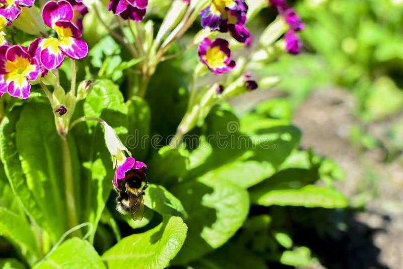 在一朵红色花的土蜂在花和绿色叶子中 在花花蜜 免版税库存照片