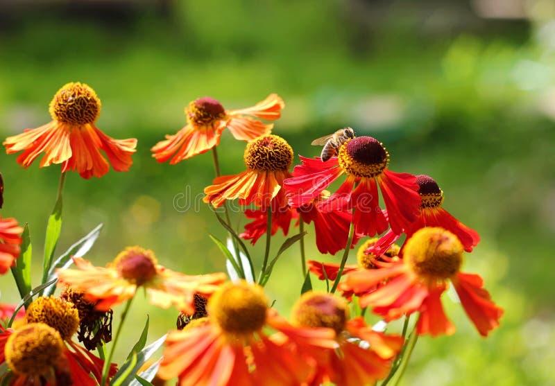 在一朵红色花的蜂 免版税图库摄影