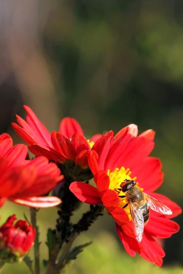在一朵红色花的蜂 库存图片