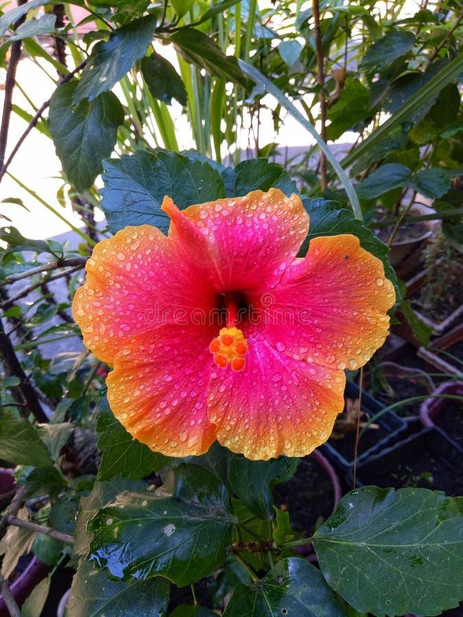 在一朵美丽的花降露 免版税库存图片