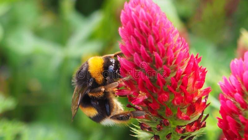 在一朵花的一只蜂在庭院里 免版税图库摄影