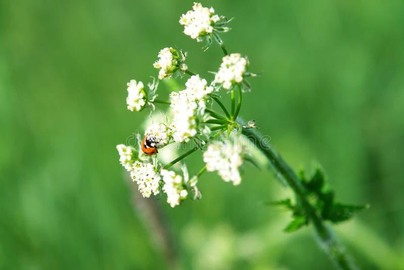 在一朵花的瓢虫在草甸 免版税库存图片