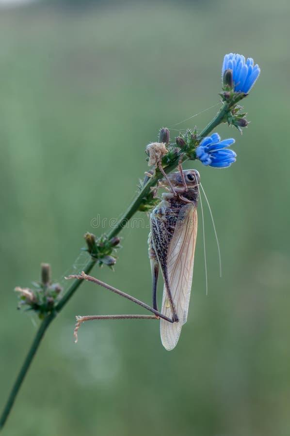 在一朵花的蚂蚱在蜕变以后 免版税库存图片