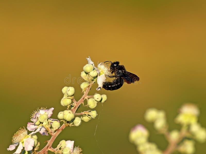 在一朵花的蜂夏令时 库存照片