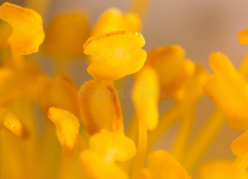 在一朵花的黄色花粉本质上 免版税库存照片
