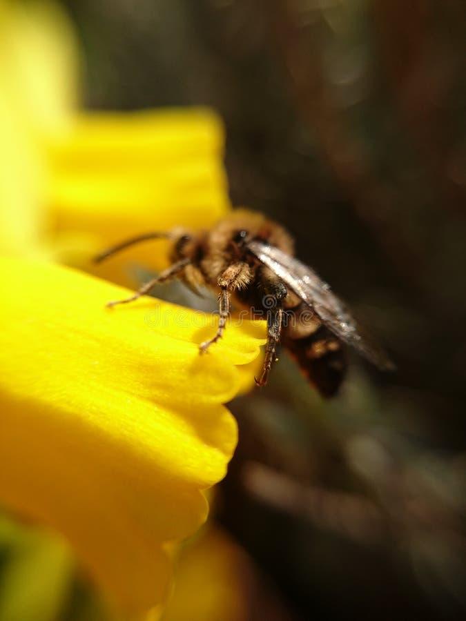 在一朵花的Wesp在宏指令 免版税库存图片