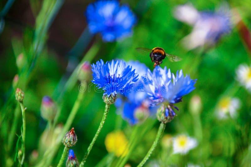 在一朵蓝色花的五颜六色的土蜂在村庄 库存照片