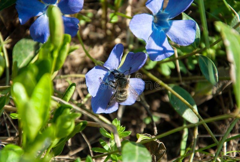 在一朵蓝色花的大甲虫 免版税库存照片