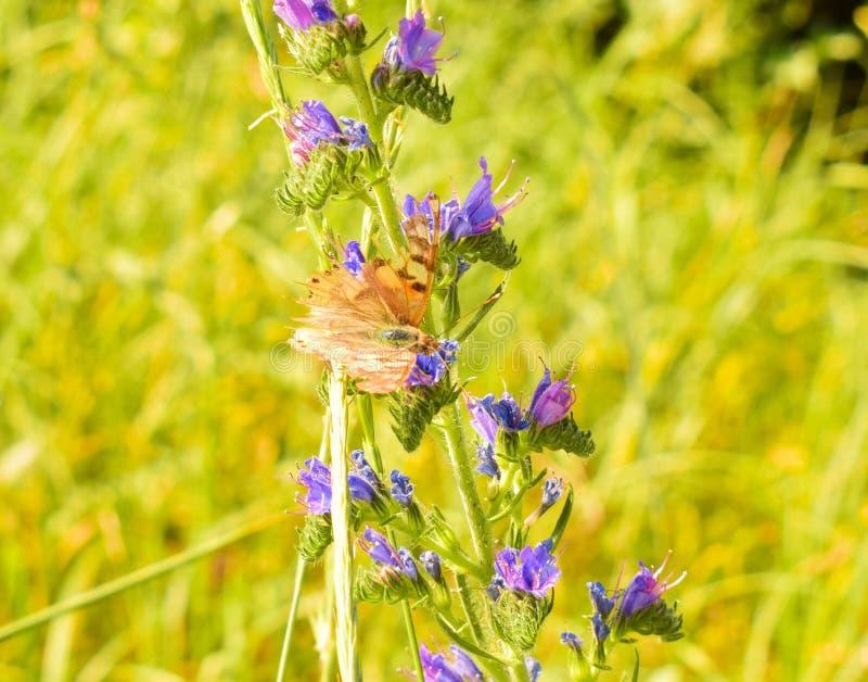 在一朵蓝色花的蝴蝶 免版税库存图片