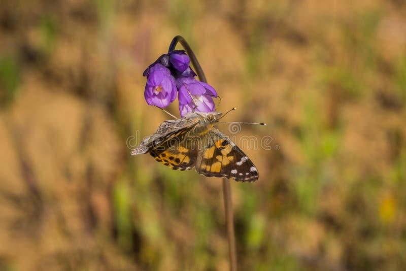 在一朵蓝色Dichelostemma capitatum野花的被绘的Vanessa夫人cardui蝴蝶啜饮的花蜜,加利福尼亚 免版税库存照片