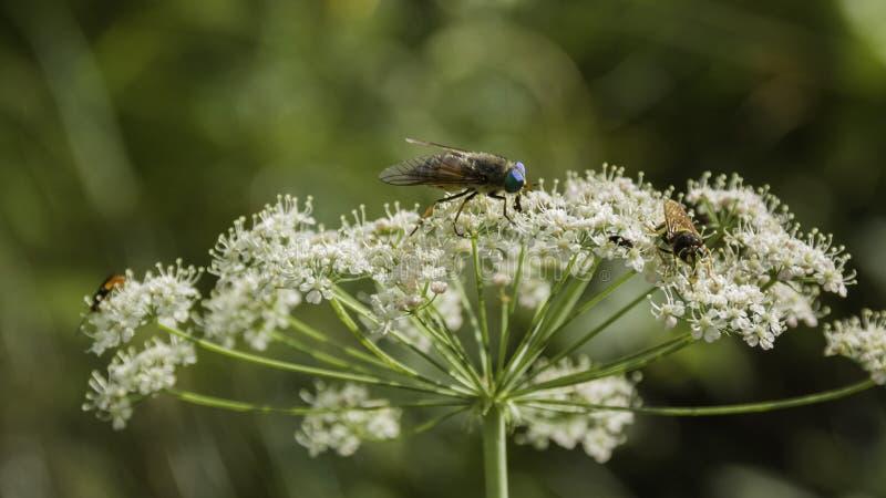 在一朵野花的马蝇 免版税图库摄影