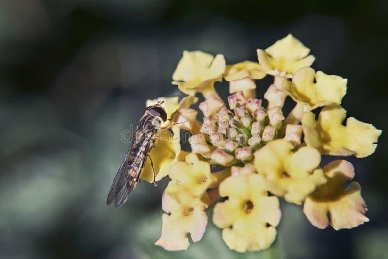在一朵黄色小小花的讨厌的人 图库摄影