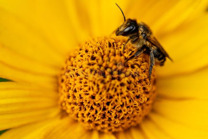 在一朵黄色花的一只蜂 一朵明亮的黄色花的宏指令与蜂的 免版税库存照片