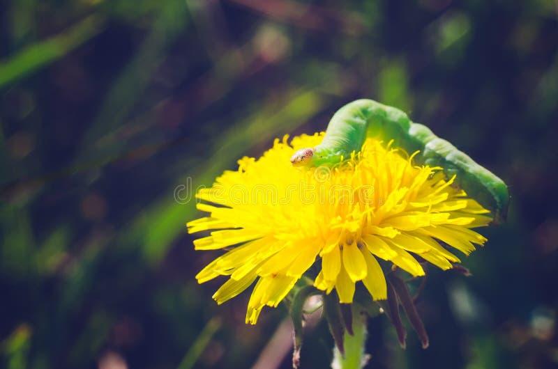 在一朵黄色花的绿色毛虫 免版税库存照片