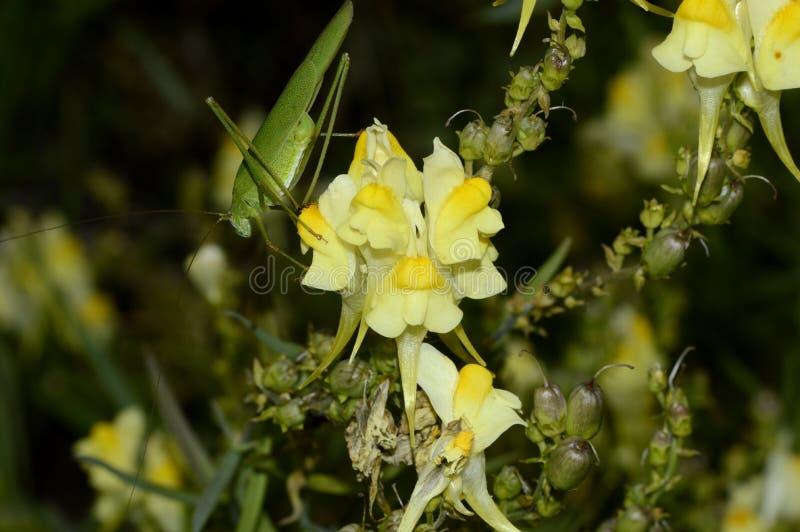 在一朵黄色花的绿色蚂蚱 库存图片