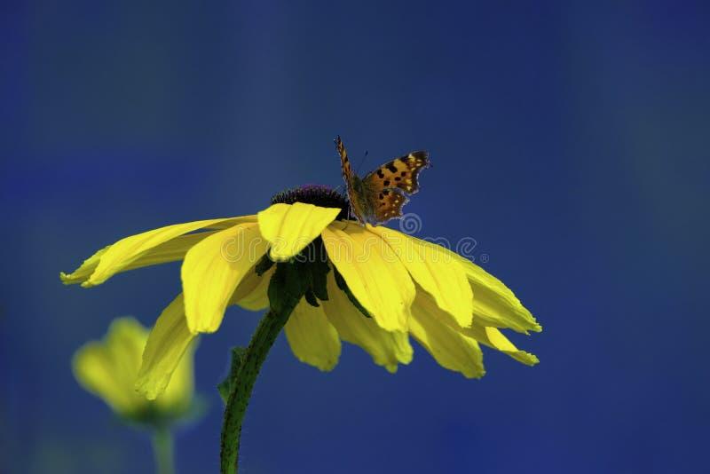 在一朵黄色花的美丽的蝴蝶反对天空蔚蓝 免版税库存图片