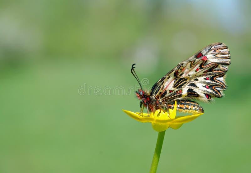 在一朵黄色花的美丽的蝴蝶 春天蝴蝶 南部的花彩 复制空间图片