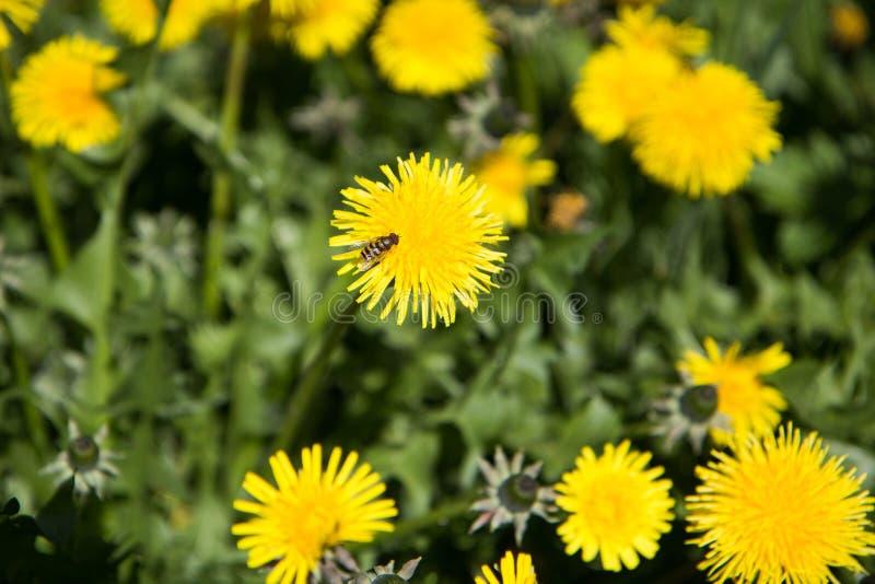 在一朵黄色花的蜂在草 库存照片