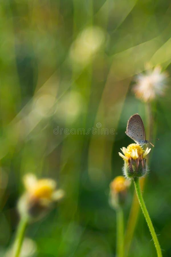 在一朵黄色草花栖息的布朗蝴蝶,在自然本底 免版税库存照片