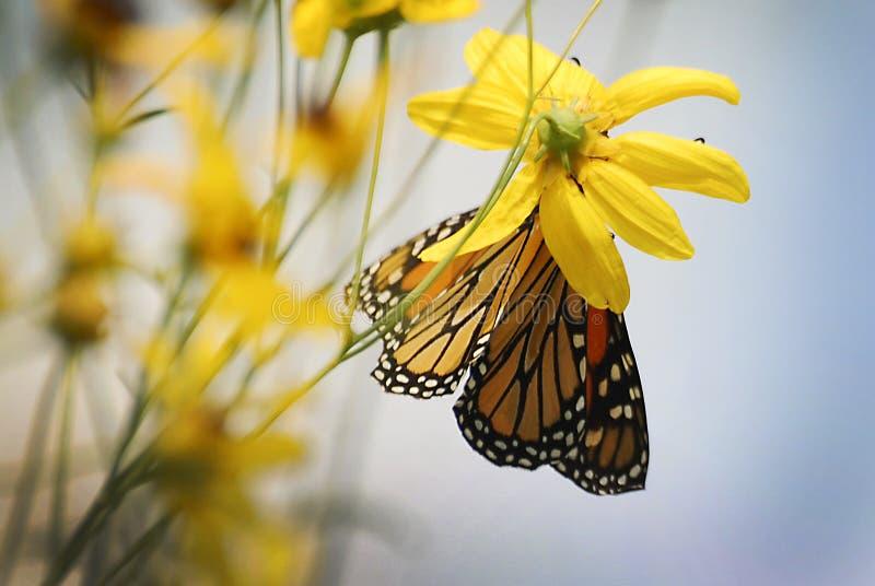 在一朵黄色花的一只黑脉金斑蝶在一个晴朗的夏日 库存照片
