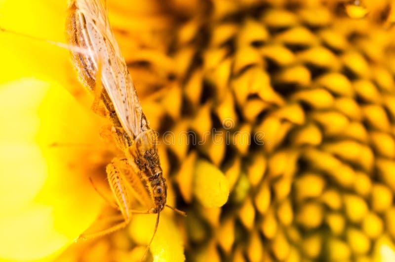 在一朵黄色花的微小的臭虫 库存图片