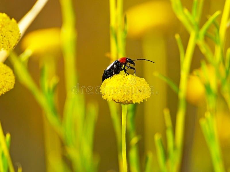 在一朵黄色花的甲虫在乡下 免版税库存照片