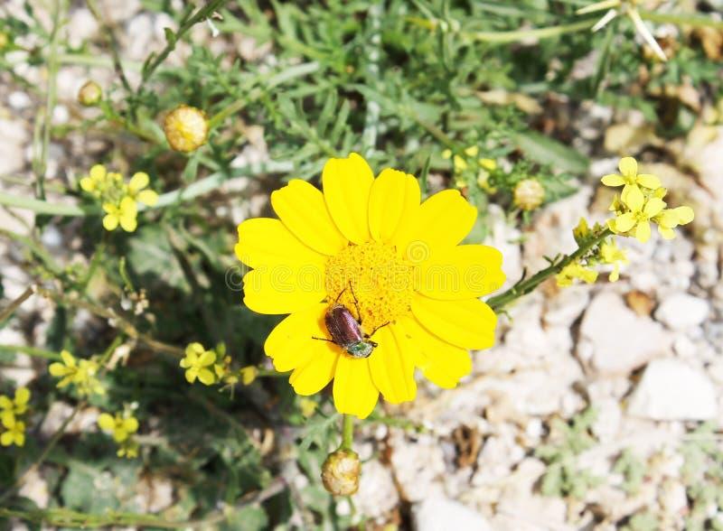 在一朵黄色花的臭虫放大 免版税库存图片