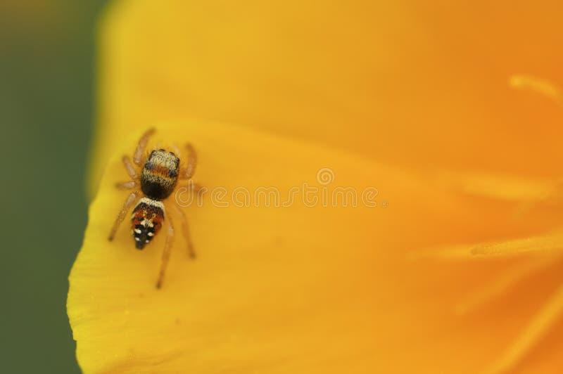 在一朵黄色花的跳跃的蜘蛛 免版税库存照片