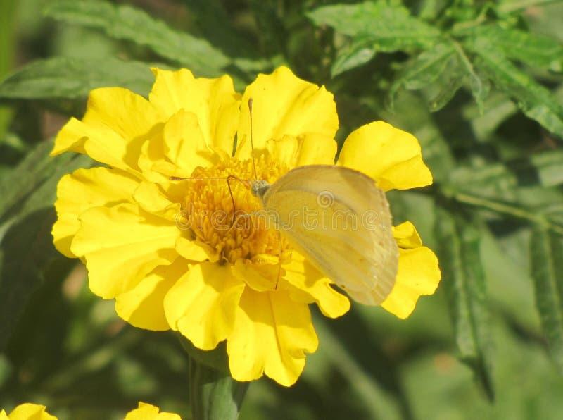 在一朵黄色花的透明蝴蝶 库存图片