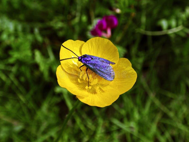在一朵黄色花的蝴蝶 免版税库存照片