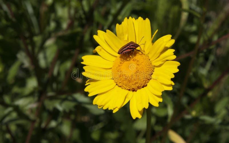 黄色片和动物干_在一朵黄色雏菊的意大利镶边臭虫