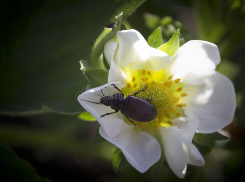 在一束白花的甲虫 免版税库存图片