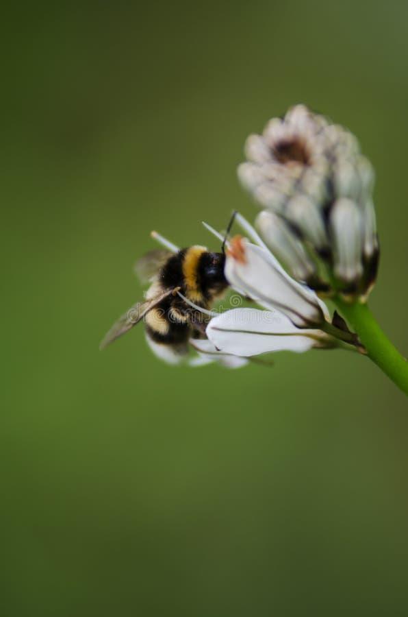 在一束白花的蜂 库存照片