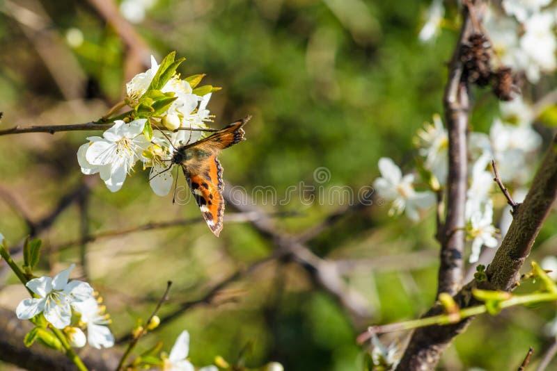 在一束白花的蝴蝶 免版税库存图片