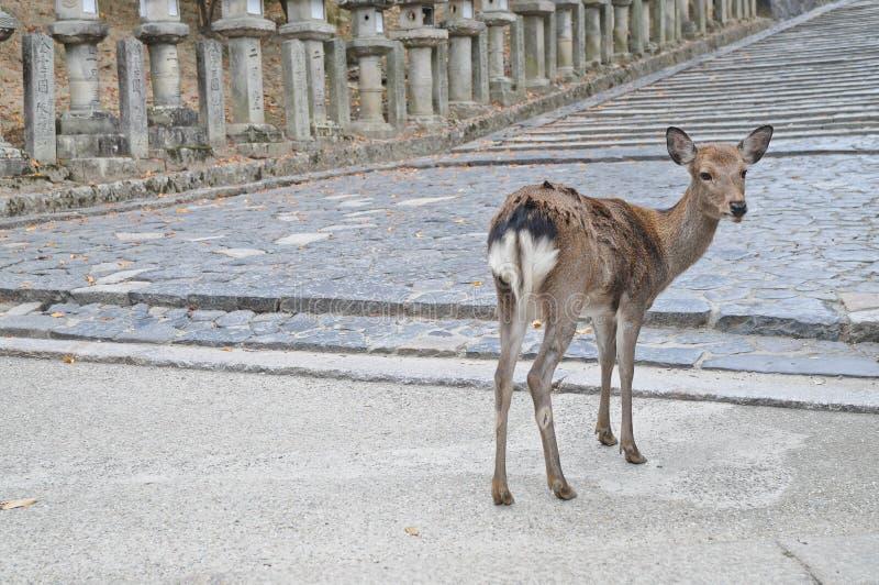 在一条古老石路的日本棕色鹿在奈良日本 免版税库存照片