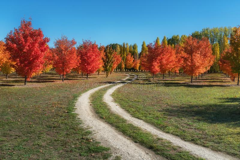 在一条土路的可爱的秋天槭树在罗克斯伯格,新西兰 免版税库存图片