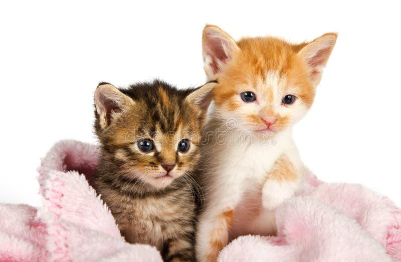 在一条桃红色毯子包裹的二只小猫 图库摄影