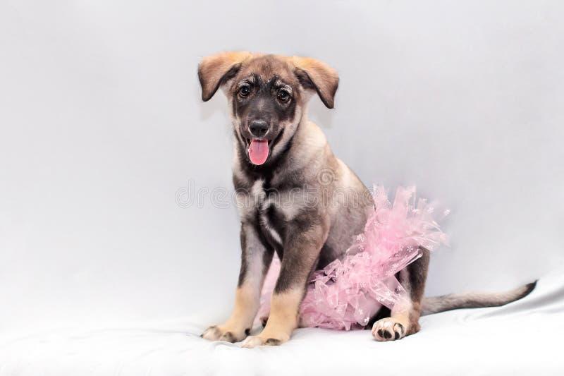 在一条桃红色蓬松裙子的一只小的小狗有滑稽的耳朵的 免版税库存图片