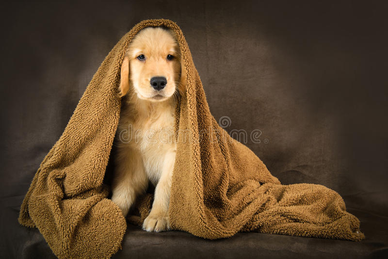 在一条棕色毯子下的逗人喜爱的金黄小狗 免版税库存照片