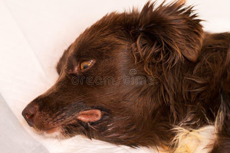 在一条狗的下颌下的肿鼓与严重肾衰竭 免版税库存图片