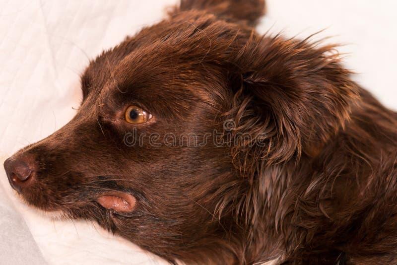在一条狗的下颌下的肿鼓与严重肾衰竭 库存图片