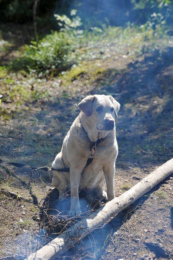 在一条皮带的一条狗在森林里 免版税库存照片