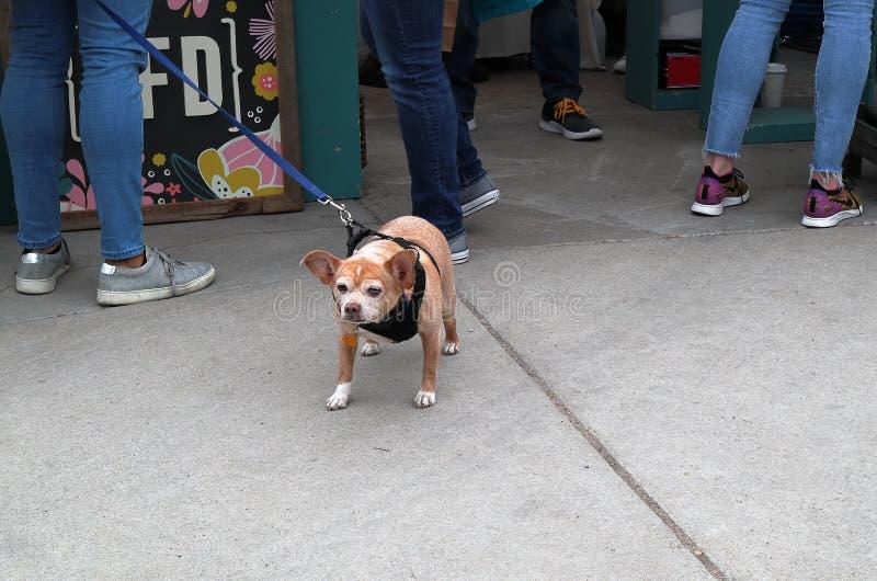 在一条皮带的小狗有站立的人的  免版税库存图片