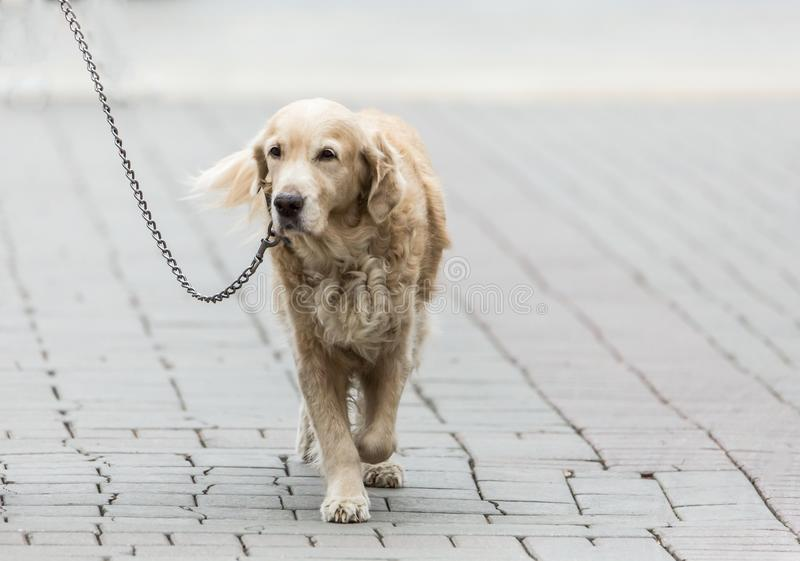 在一条皮带的拉布拉多狗在城市街道上 免版税库存照片