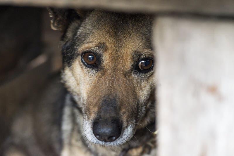 在一条皮带的狗在狗狗窝 o 与哀伤的眼睛的狗 图库摄影